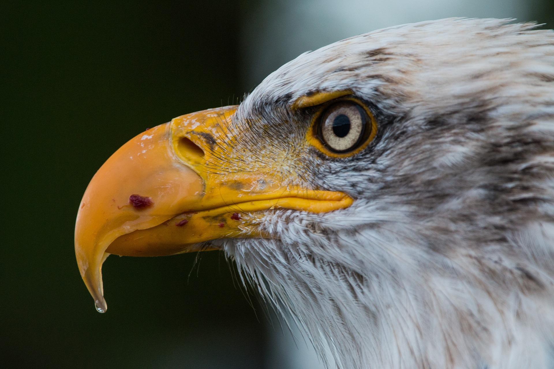 bald eagle 1728739_1920