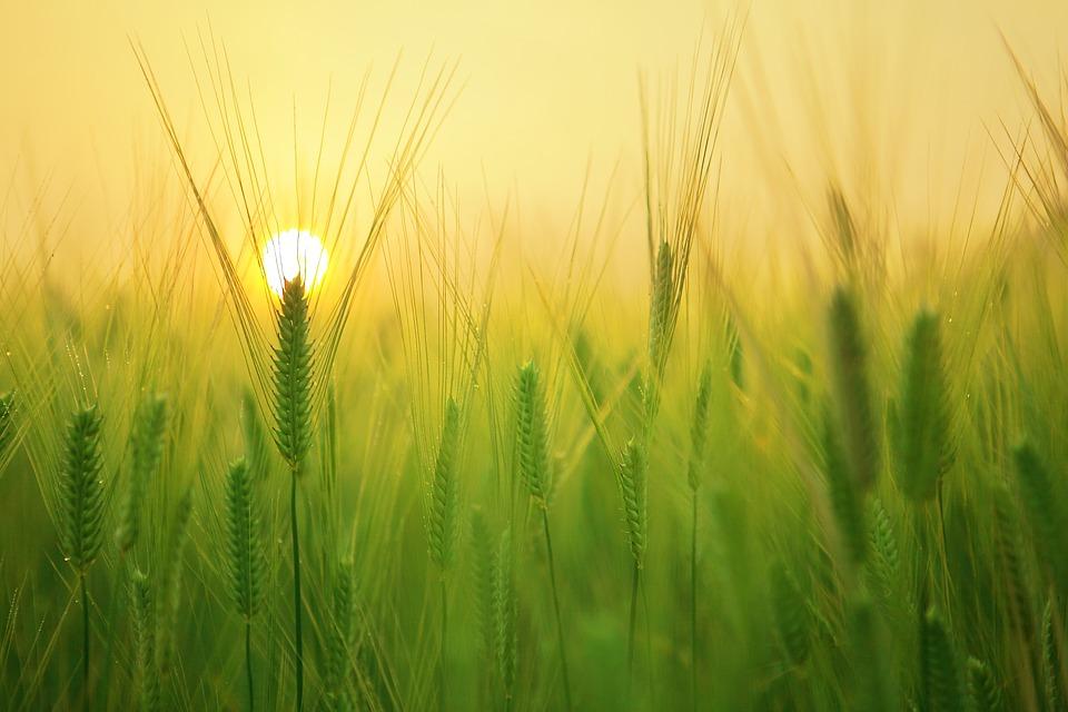barley field 1684052_960_720