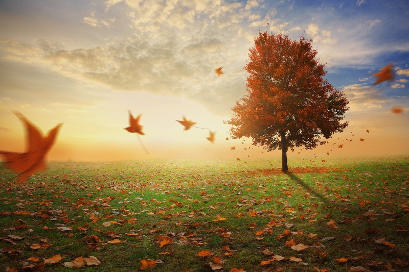 a single red maple tree in a field with leaves falling to the ground_HQemXyGx0