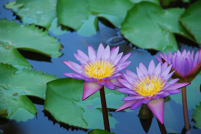 beautiful purple waterlilies in a pond_7kYpMN