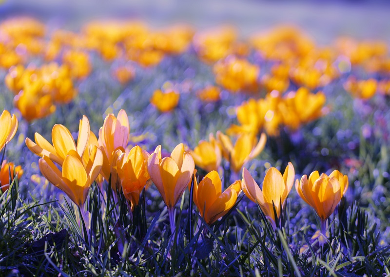 close up of yellow crocuses_fk2e6pP