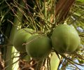 coconut fruits_MJ_v_1Pd