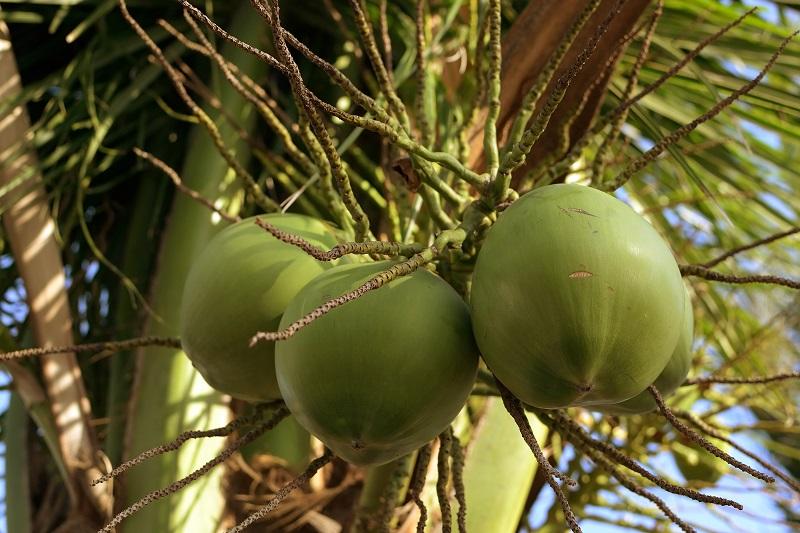 coconut fruits_MJ_v_1Pd