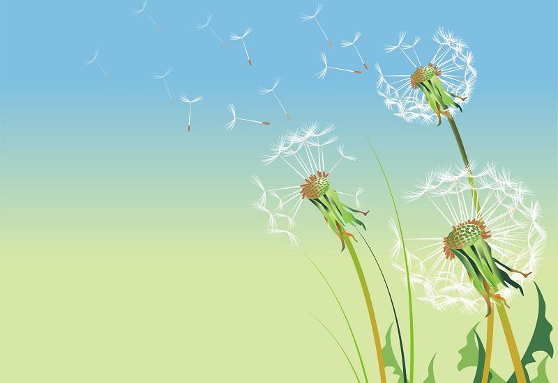 dandelions illustration_z15wC_Hd