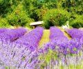 lavender flowers farm_fJwyMv_O