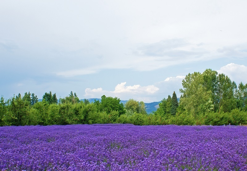 lavender flowers valley_fJOXGw_d