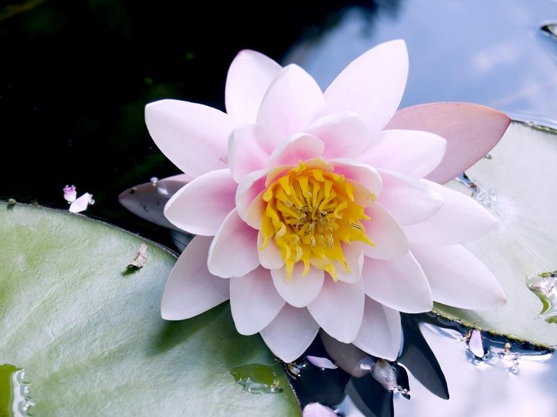 lotus flower_fJui9ywu