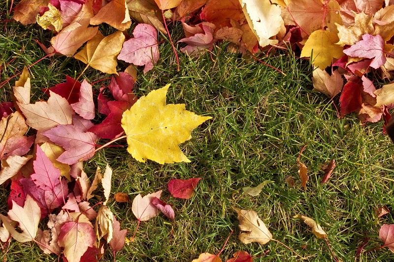 maple leaves on grass background_Gk_GT3vu