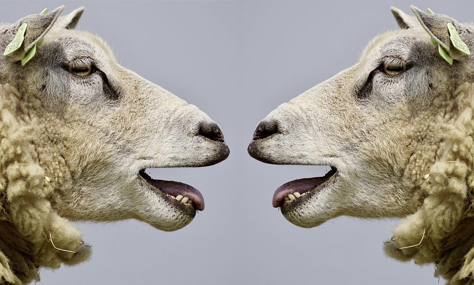 sheep 2372148_960_720