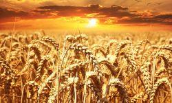 wheat-field-640960_960_720
