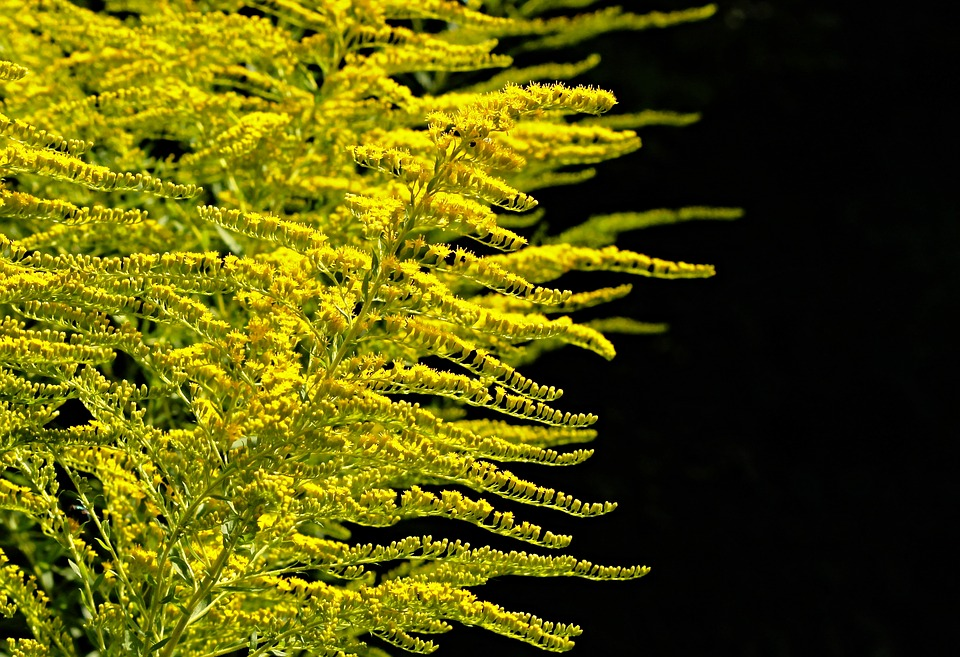 golden-rod-2663113_960_720