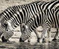 zebra-3044577_960_720