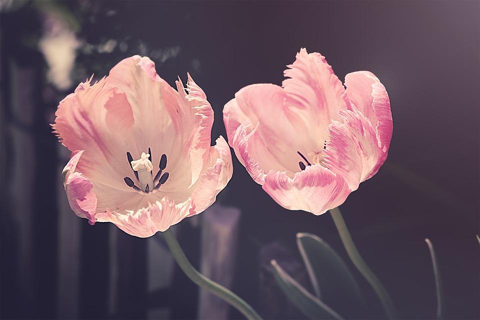 tulips 3339416_960_720