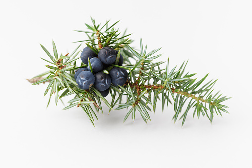 Juniper berries, close up