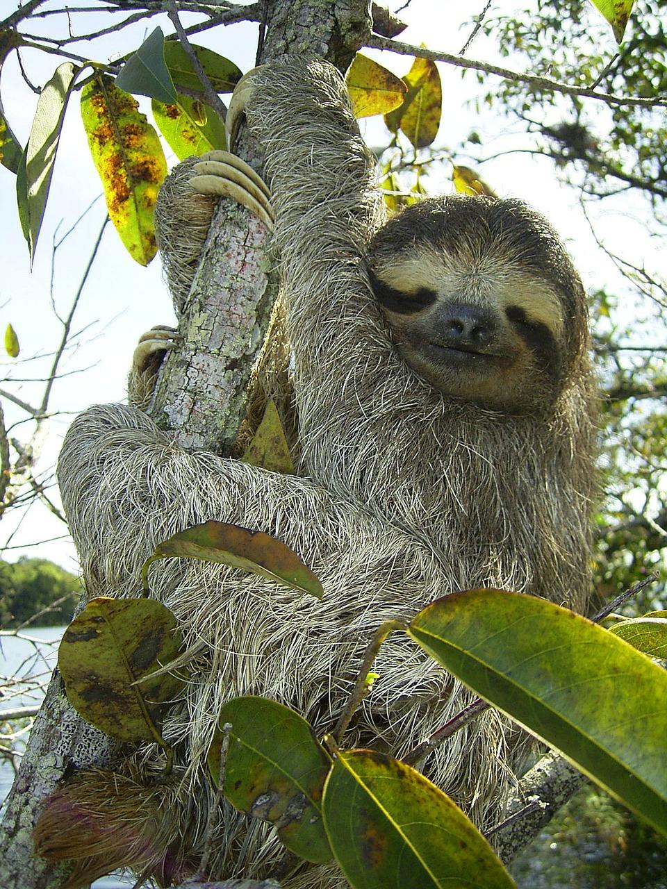pygmy-sloth-62869_1280