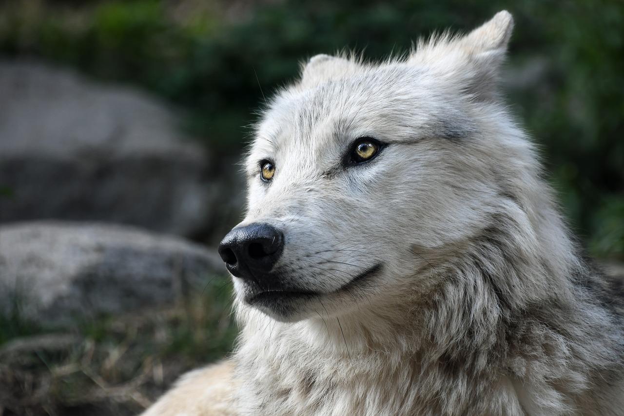 wolf-2826741_1280